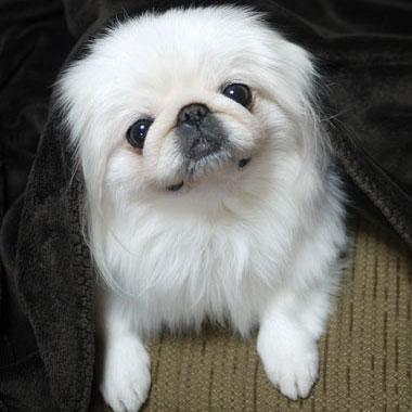 ペキニーズ Blog,白ペキニーズ シロ♂  白黒ペキニーズ クロ♀のフォトブログ