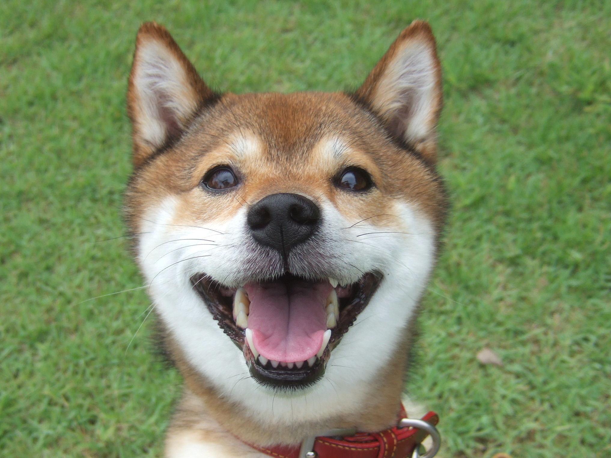柴犬ニコニコ