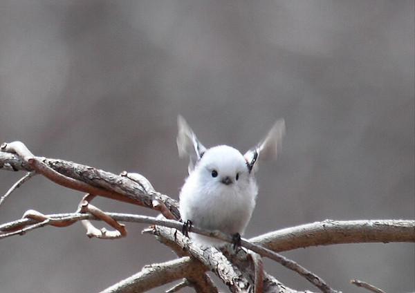 羽ばたくシマエナガ