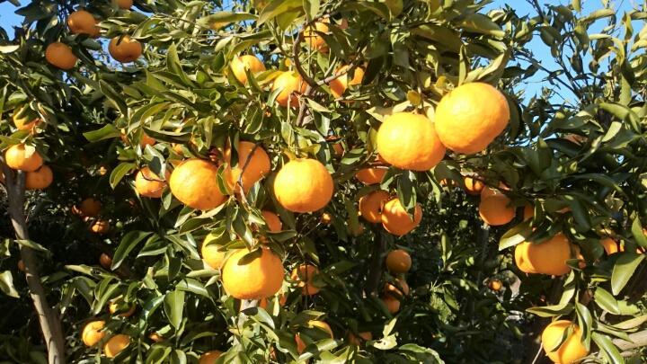 かなつば果樹園(かみぢ農園)のオレンジロード