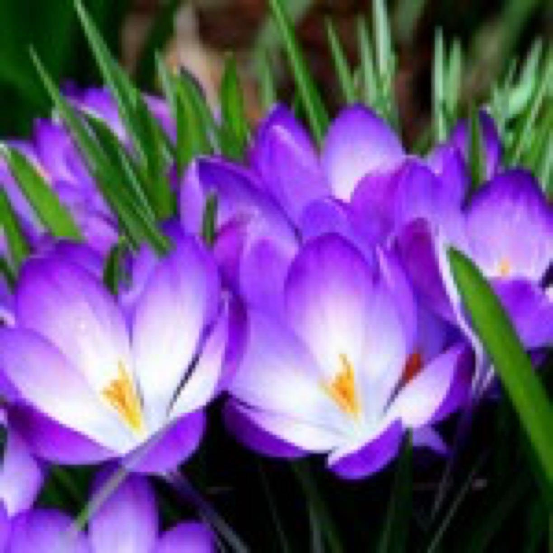 purple-crocus