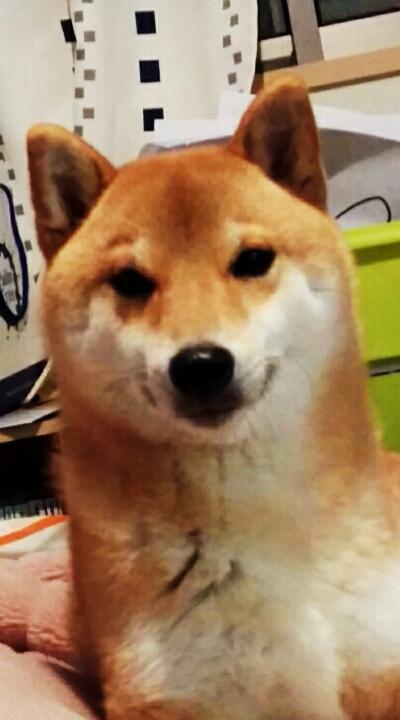 柴犬 モモ