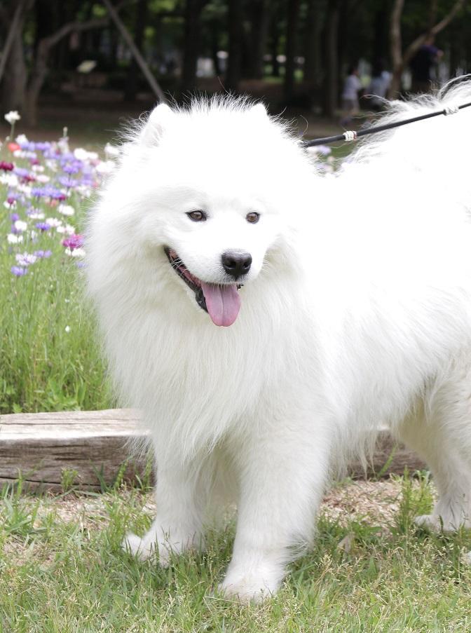 サモエド犬の宇宙(ソラ)さん