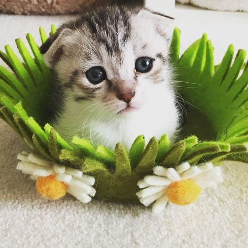gomez-cat