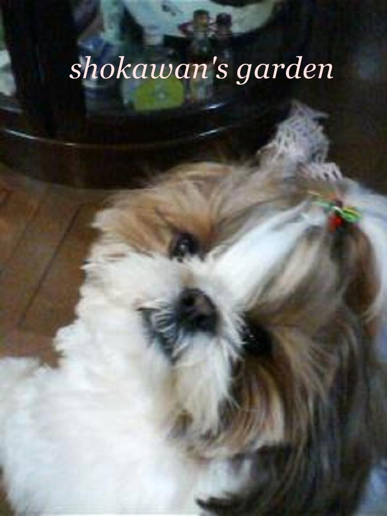 shokawan(リリー)