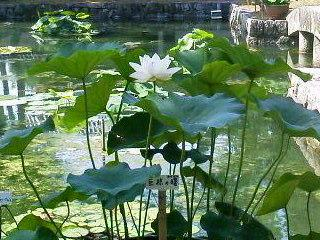 蓮~Lotus~