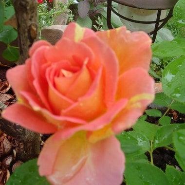 rose.mi