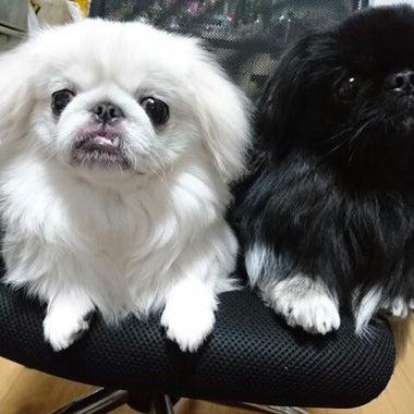 dog-pekingese-sakurako