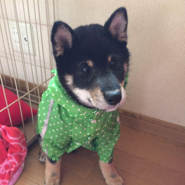 柴犬@KoTeTsu