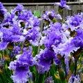 Irisのプロフィール