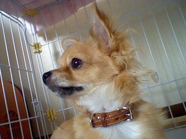 犬のココア