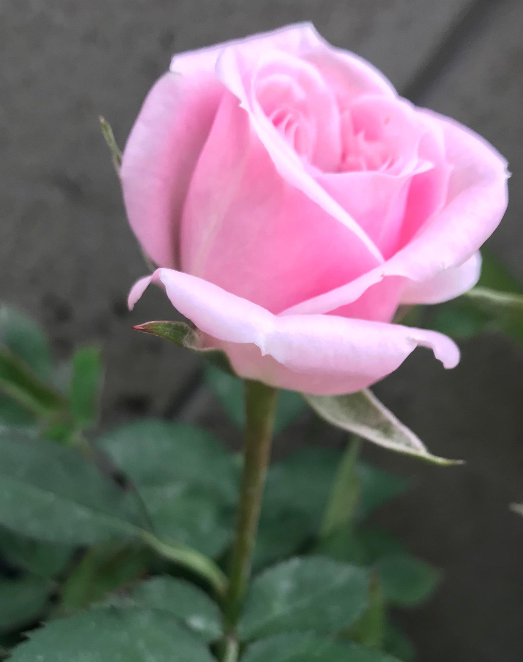 Rose amethyst