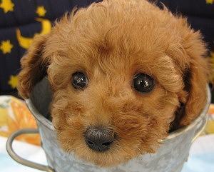 トイプー好き!
