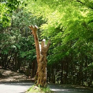 樹(うちむらやすよ)