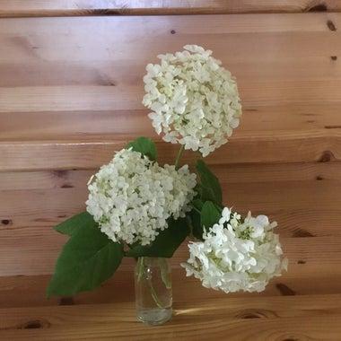 white-hydrangea-715