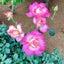 画像 重症筋無力症MAMA(難病と私age31)のユーザープロフィール画像