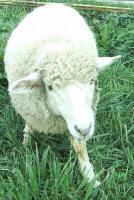 幻の羊飼い